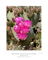 Beavertail Cactus, California Desert